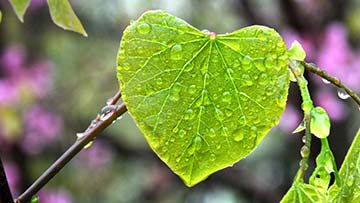 Heart-shaped leaf in the rain