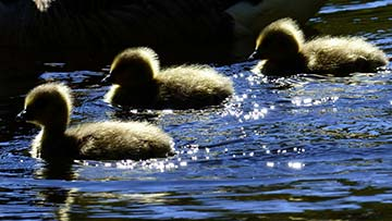 Ducklings swimming