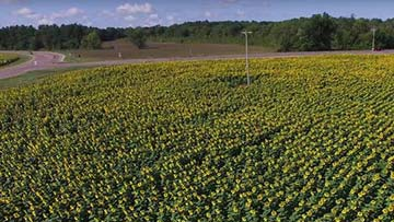 The sunflowers planted by Don Jaquish as a tribute to his wife Babbette.